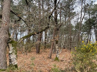 Bois de pins, campagne de Caden
